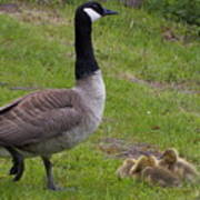 Goslings With Mother Goose Poster