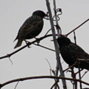 Grackles On Branches  Poster