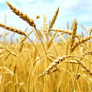 Grain Field Poster by Elena Elisseeva