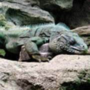Grand Cayman Blue Iguana Poster