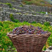 Grape Harvest Poster by Gaspar Avila