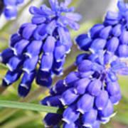 Grape Hyacinth Closeup Poster