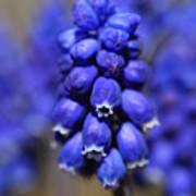 Grape Hyacinth - Muscari Poster