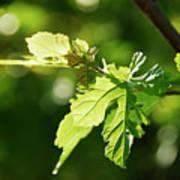 Grape Leaves In Spring Poster