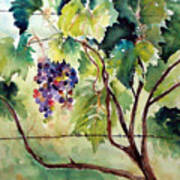 Grape Vines At Otter Creek Poster