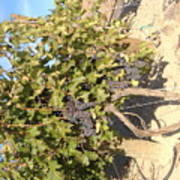 Grape's At Harvest Poster