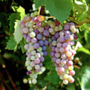 Grapes In Color  Poster