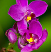 Grapette Ground Orchid Poster