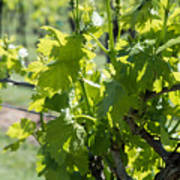 Grapevine In Early Spring Poster