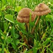 Grass Mushroom Pair           Tubaria Fungii           May           Indiana Poster