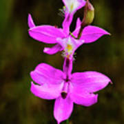 Grass Pink Orchid Poster