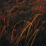Grasses Glow Golden In Evenings Light Poster by Raymond Gehman