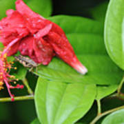 Grasshopper And Hibiscus Poster