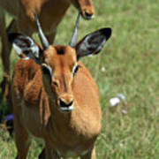 Grassland Deer Poster