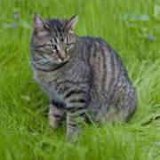 Gray Cat In Vivid Green Grass Poster