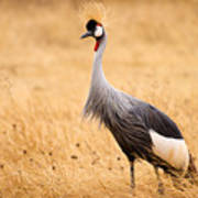 Gray Crowned Crane Poster
