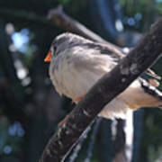Gray Crowned Rosy Finch   Poster
