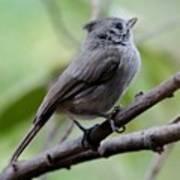 Gray Grey Bird 052814aa Poster