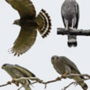 Gray Hawk Collage Poster