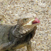 Gray Iguana Eating Lettuce With His Pink Tongue Sticking Out Poster