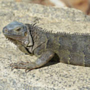 Gray Iguana With Long Talons Sitting On A Rock Poster