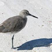 Gray Sandpiper On White Beach Poster