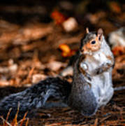 Gray Squirrel Dance Poster