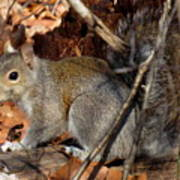 Gray Squirrel Poster