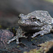 Gray Treefrog On A Log Poster