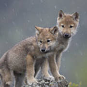 Gray Wolf Canis Lupus Pups In Light Poster