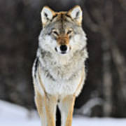 Gray Wolf In The Snow Poster