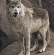 Gray Wolf On A Rock Poster