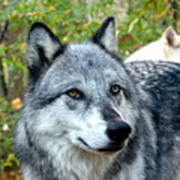 gray Wolf Pair Poster