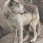 Gray Wolf Profile Poster