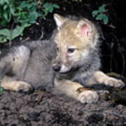 Gray Wolf Pup With Prey Poster