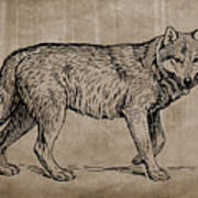 Gray Wolf Timber Wolf Western Wolf Woods Texture Poster