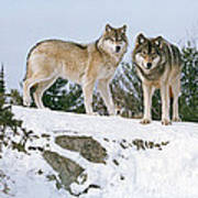 Gray Wolves Canis Lupus In A Forest Poster