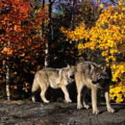 Gray Wolves In Autumn Poster