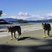 Gray Wolves On Beach Poster