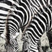 Grazing Zebras Close Up Poster