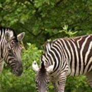 Grazing Zebras Poster