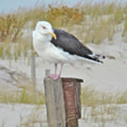 Great Black Backed Gull - Larus Marinus Poster