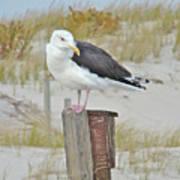 Great Black Backed Gull - Larus Marinus Poster