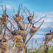 Great Black Cormorants Colony - Danube Delta Poster