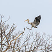 Great Blue Heron 2014-4 Poster