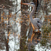 Great Blue Heron And Reflection Poster