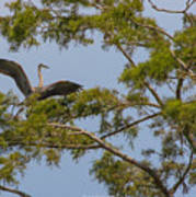 Great Blue Heron In Cypress  Poster