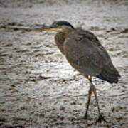 Great Blue Heron In The Snow Poster