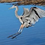 Great Blue Heron Landing In The Marsh Poster