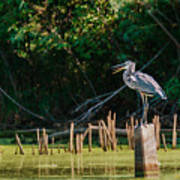 Great Blue Heron Mouth Poster